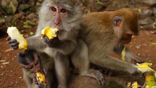 غذای میمون چیست؟