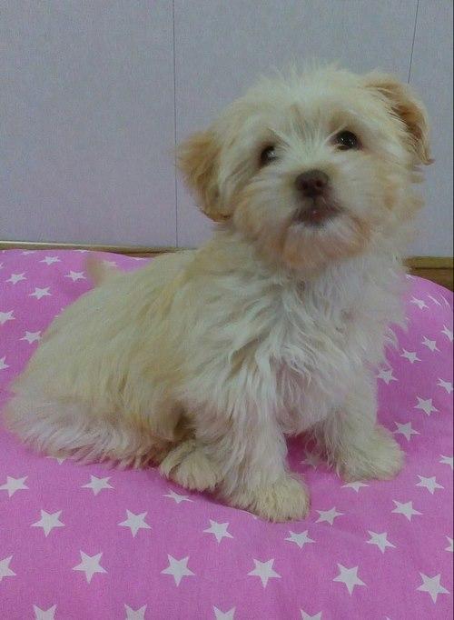 مقایسه زیبایی سگ پامرانین با شیتزو