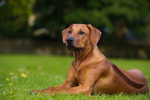 سگ مو کوتاه