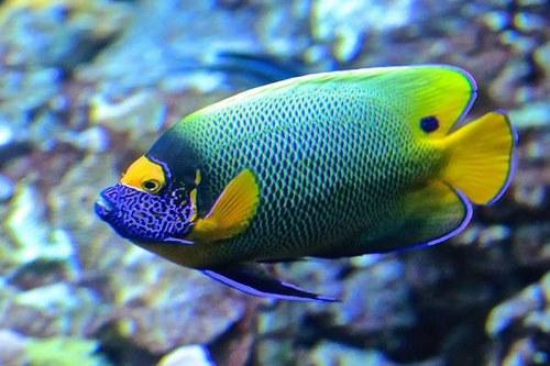 گران ترین ماهی جهان چیست؟