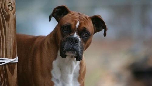 مقایسه سگ باکسر با پیت بول