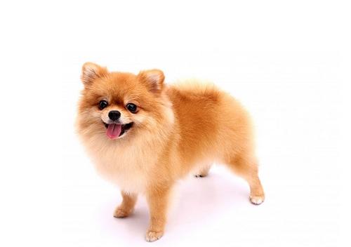 مقایسه سگ پامرانین ماده با شیتزو