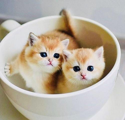 گربه فنجانی