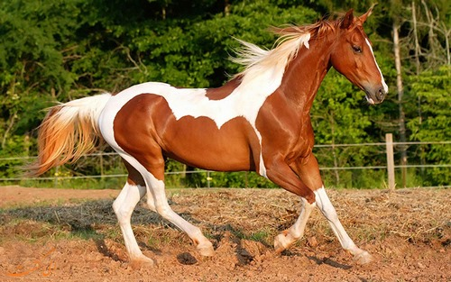 اسب یورقه