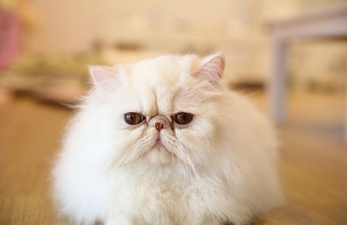 غذا گربه لاکچری