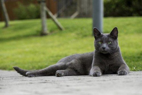 گربه آبی رنگ روسی