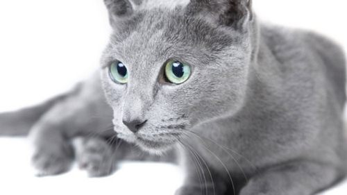 گربه آبی رنگ