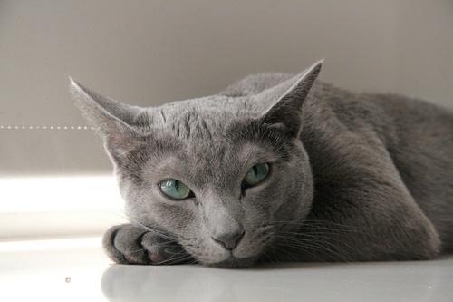 معرفی گربه آبی رنگ