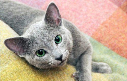 عکس گربه آبی رنگ