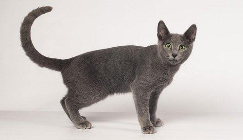 خرید گربه آبی رنگ