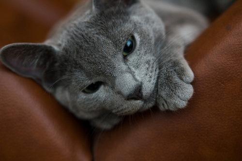 اصول نگهداری از گربه راشن بلو