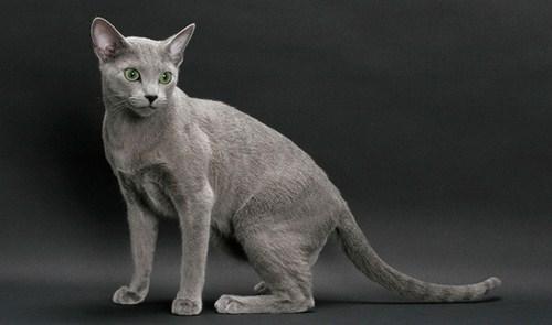 بیماری های گربه آبی رنگ