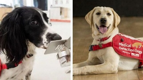 Corona detection by dogs امکان دارد؟