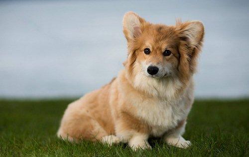 خصوصیات ظاهری سگ روباهی