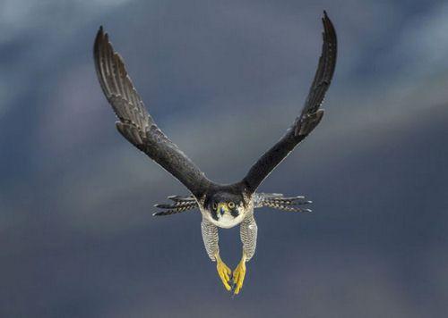 سریعترین پرنده شکاری کدام است؟