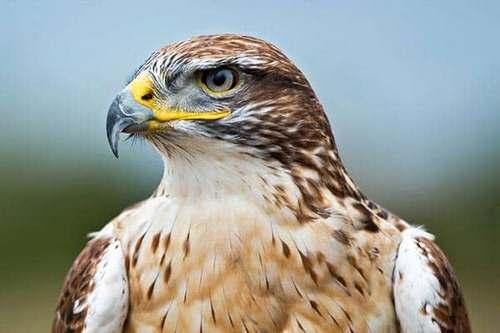 انواع پرندگان شکاری
