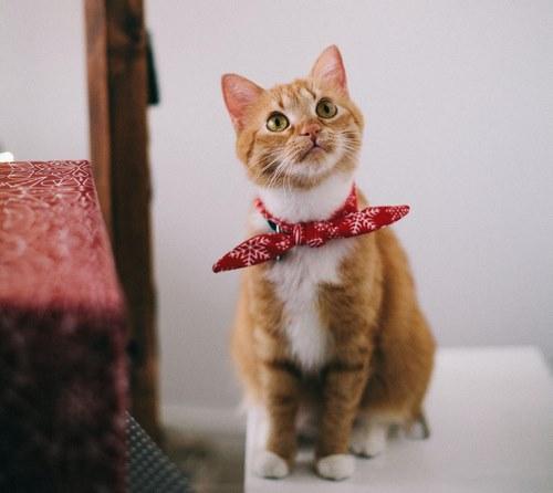 ال کارنیتین برای گربه ها نیز وجود دارد؟