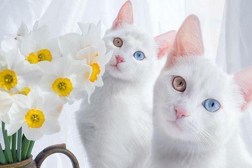 گربه آنگورای