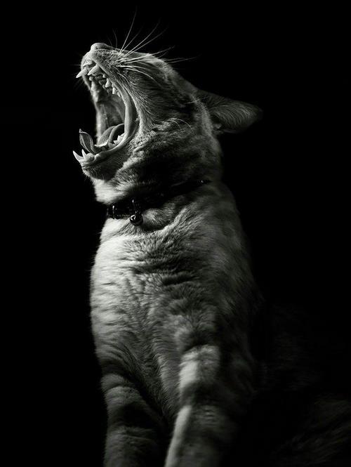 معرفی گربه سیاه