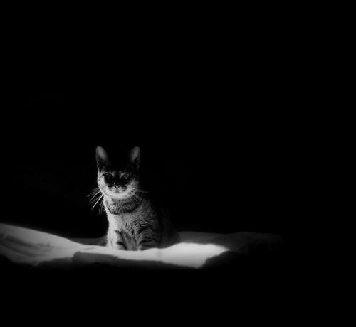 طول عمر Gato negro