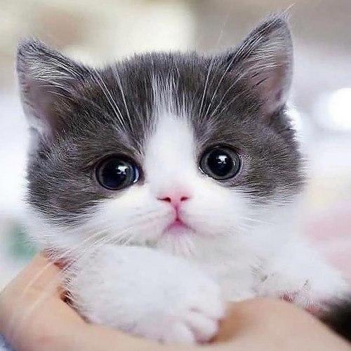 گربه لاکچری