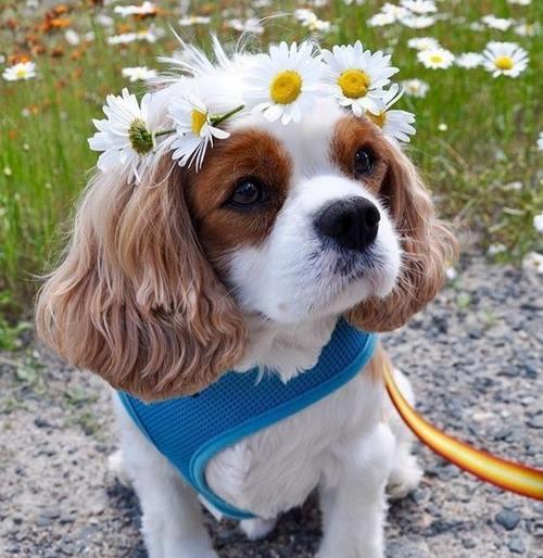 خصوصیات ظاهری سگ کیوت