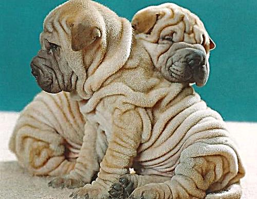 طول عمر سگ شارپی چقدر است؟