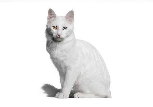 طول عمر این گربه ها چقدر است؟