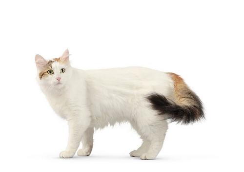 خرید گربه ترکیش ون