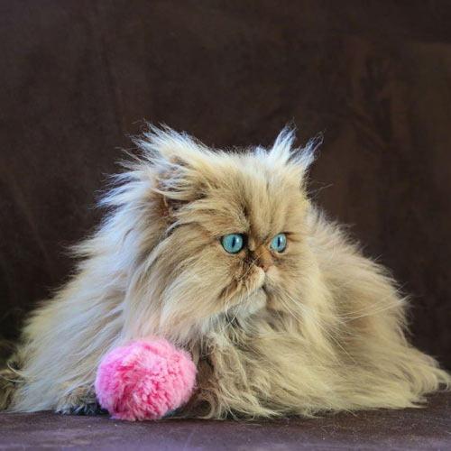 عکس گربه شیرازی