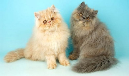 معرفی گربه شیرازی