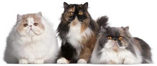 گربه شیرازی