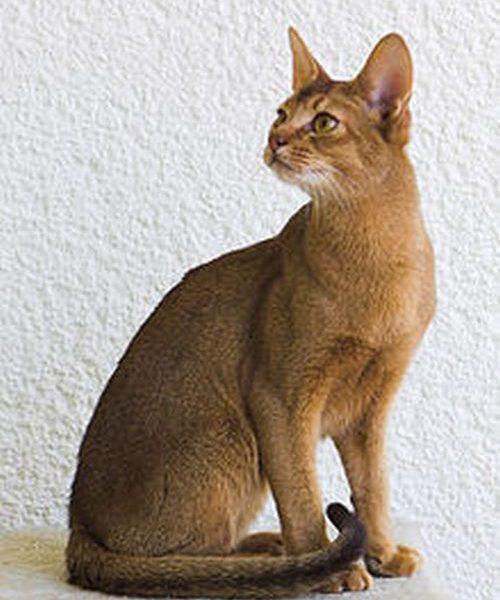 گربه حبشی