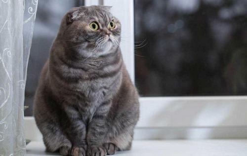 نژادهای گربه خاکستری
