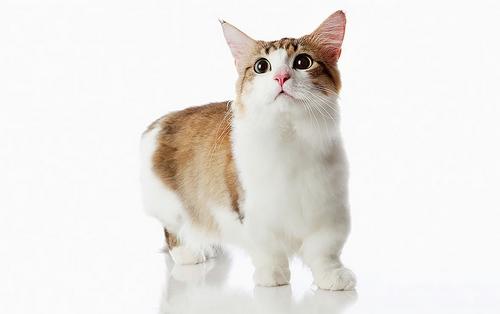 گربه پا کوتاه