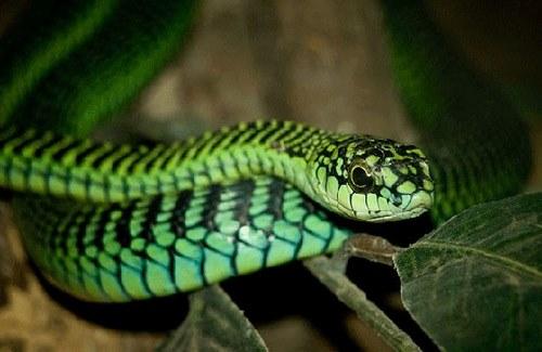 Semi-venomous snakes