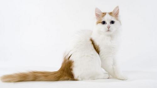 معرفی نژاد گربه ترکیش