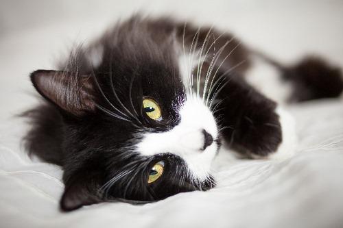 بیماری های گربه تاکسیدو