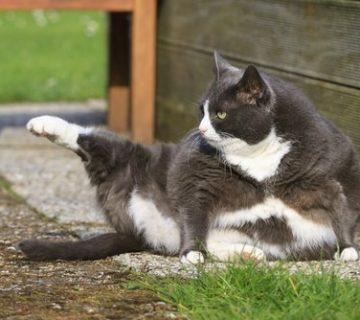 گربه تاکسیدو