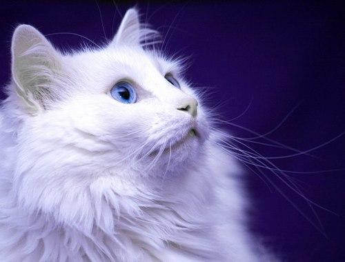 گربه ترکیش