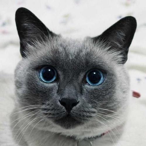انواع نژاد های گربه اشرافی