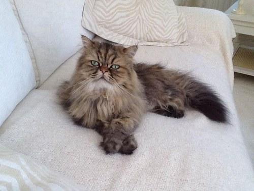 گربه های اشرافی آپارتمانی