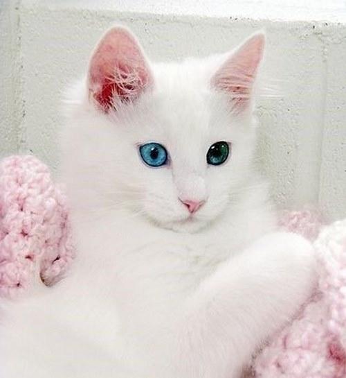 گربه اشرافی سفید