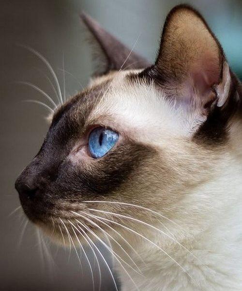 گربه اشرافی