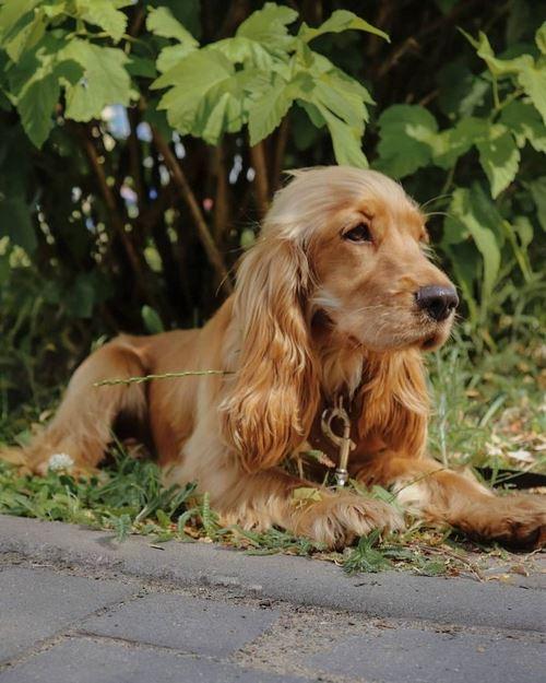 قیمت سگ کاکر اسپنیل