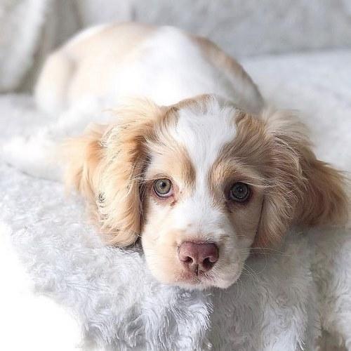 رابطه سگ کاکر اسپنیل با کودکان