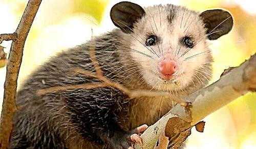 صاریغ استرالیایی
