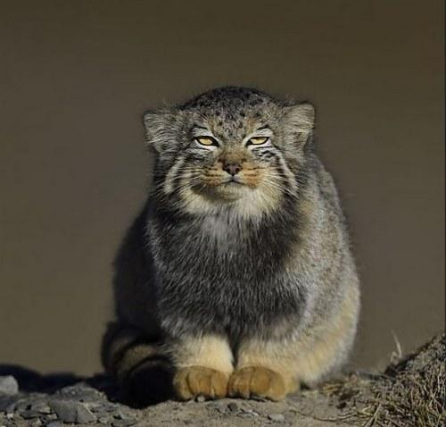 معرفی نژاد گربه پالاس
