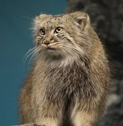 گربه پالاس در حال انقراض
