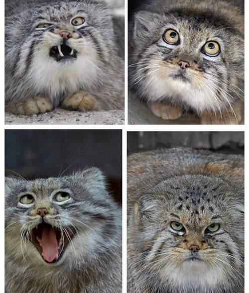 گربه پالاس در کجا زندگی می کند؟